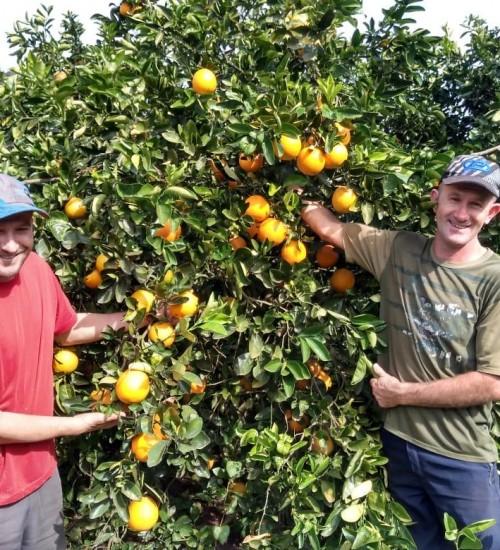 Produtor de laranja de Erval Grande estima 100 toneladas por hectare.