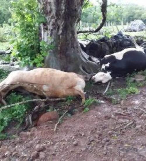 Mulher fica ferida e bovinos morrem após queda de raio em propriedade do interior de Concórdia (SC).