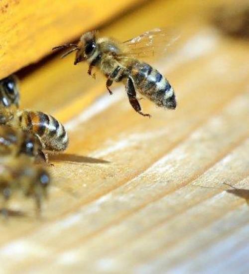 Ataque de abelhas deixa três pessoas feridas e dois cachorros mortos no Oeste Catarinense.