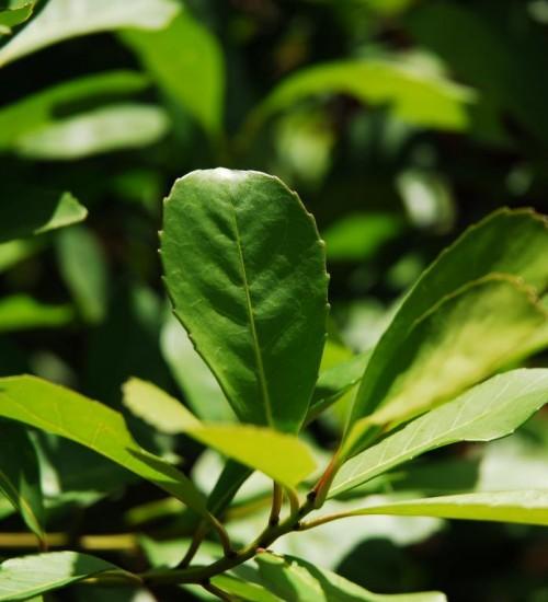 Queda na oferta eleva o preço da erva-mate no RS.