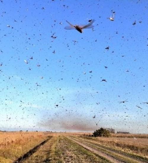 Secretaria da Agricultura monitora nova nuvem de gafanhotos na Argentina.