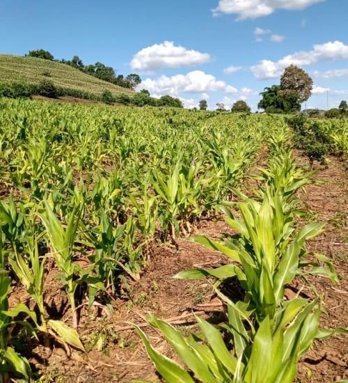 Itatiba do Sul: Mais prejuízos no campo.