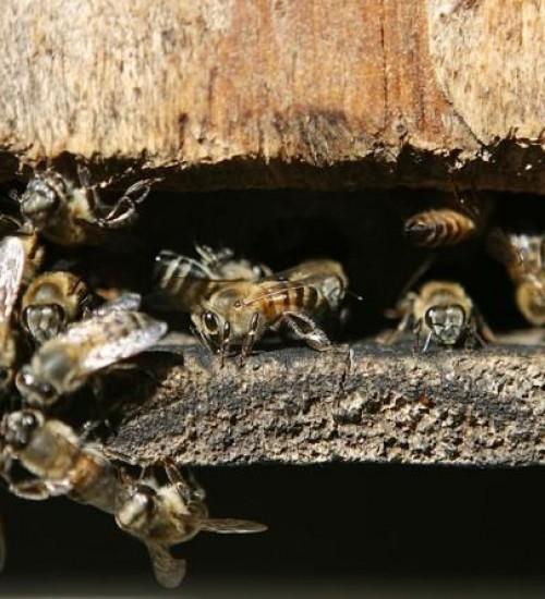 Mulher morre após família ser atacada por enxame de abelhas em SC.