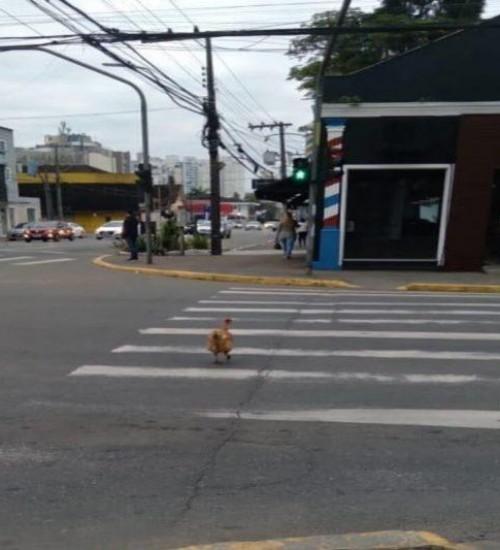 Imagem de galinha atravessando a faixa de pedestres em Joinville viraliza nas redes sociais.